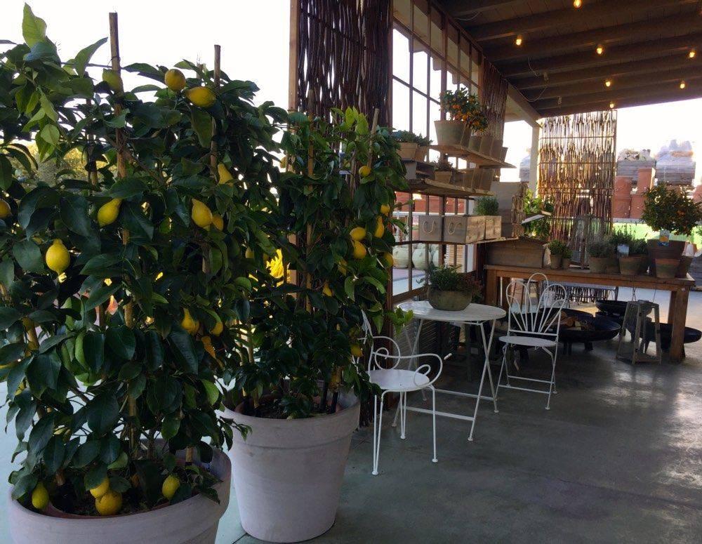 Coltivare gli agrumi e il peperoncino garden bulzaga for Coltivare limoni